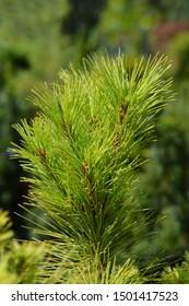 Eastern white pine - Latin name - Pinus strobus