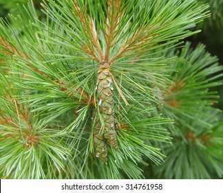Eastern White Pine (Pinus strobes 'Krugers Lilliput') in the Grounds at Rosemoor, Devon, England, UK