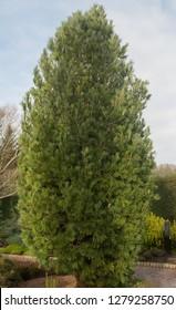 Eastern White Pine (Pinus strobus 'Densa') in a Winter garden in Rural Devon, England, UK