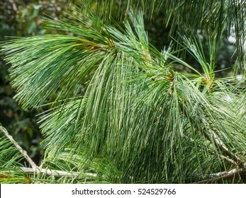 Eastern white pine (Pinus strobus) is a large pine native to eastern North America.