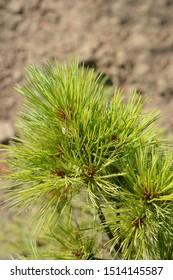 Eastern white pine Radiata - Latin name - Pinus strobus Radiata