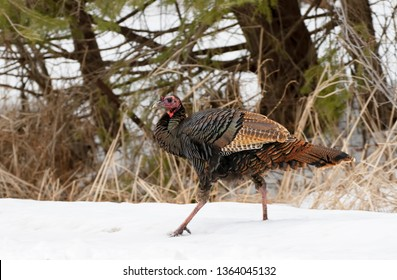 Eastern Wild Turkey Meleagris gallopavo closeup strutting along a country road in the snow in Canada