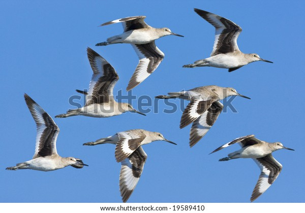 Eastern Willet in flight.  Catoptrophorus semipalmatus.
