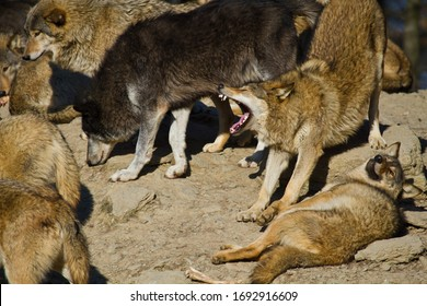 Eastern Wolf or american grey wolf (Canis lupus lycaon)