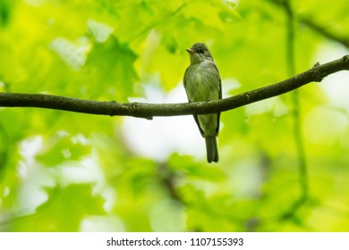 Eastern Wood Pewee perched high up on a dead branch in a deciduous forest. Rouge National Urban Park, Toronto, Ontario, Canada.