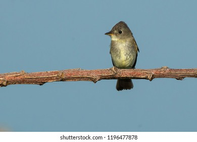 Eastern Wood Pewee perched on a branch. Presqu'ile Provincial Park, Brighton, Ontario, Canada.