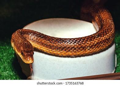 Eastern Yellow Rat Snake in an aquarium in a zoo. - Shutterstock ID 1735163768