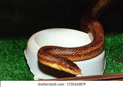 Eastern Yellow Rat Snake in an aquarium in a zoo. - Shutterstock ID 1735163879