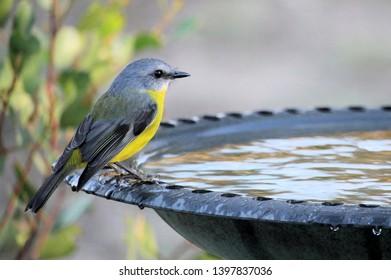 Eastern Yellow Robin (Eopsaltria australis) at birdbath, South Australia