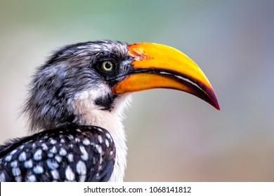 Eastern yellow-billed hornbill portrait in Samburu National Park in Kenya