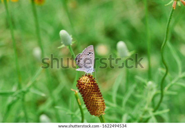 easterntailed-blue-butterfly-resting-on-
