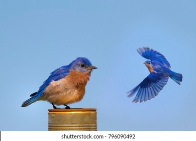 Easthern Bluebird Circling Another Bluebird
