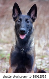 Easy, the belgian malinois, smiling in front of the camer