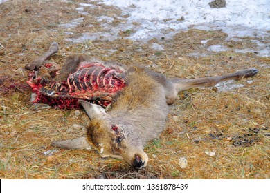 Eaten corpse of a red deer (Cervus elaphus) by wild wolves (Canis lupus), also known as the grey/gray wolf or timber wolf. Winter/spring time with snow. Carpathian mountains. Slovakia.