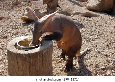 Eating aardvark (Orycteropus afer) at the Zoo.