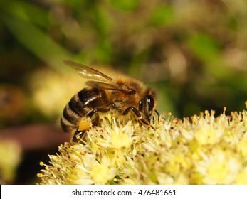Eating bee