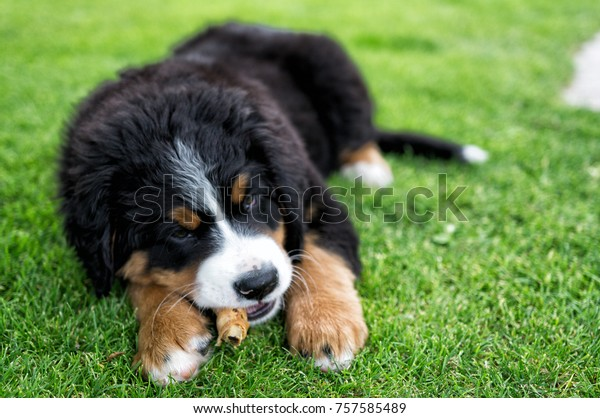 Eating Bernese Mountain Dog Puppy On Stock Photo Edit Now
