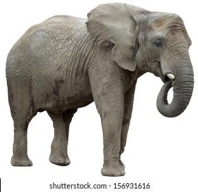eating elephant isolated on a white background