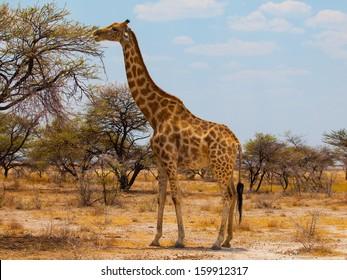 Eating giraffe on safari wild drive