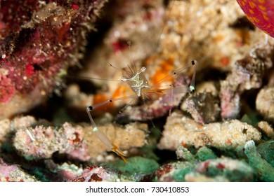 Eating Glass-shrimp
