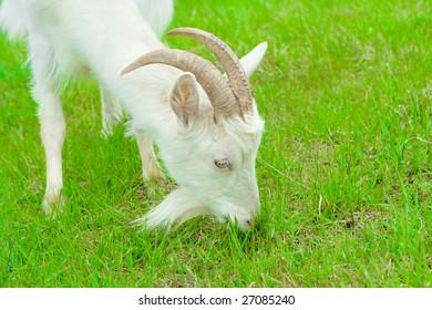 eating goat green grass close-up