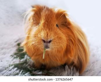 Eating guinea pig, animal moment theme