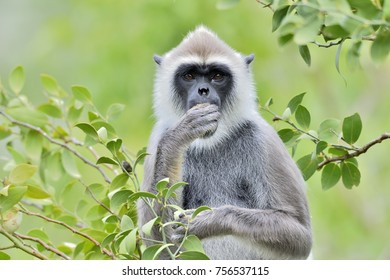 Eating langur. Closeup portrait of Tufted gray langur (Semnopithecus priam), also known as Madras gray langur, and Coromandel sacred langur