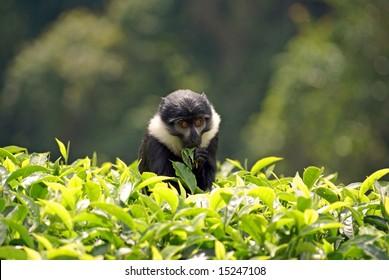 Eating L'Hoest monkey in Rwanda