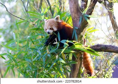 Eating Red Panda - Ailurus fulgens fulgens