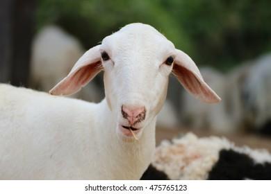 Eating sheep look at you