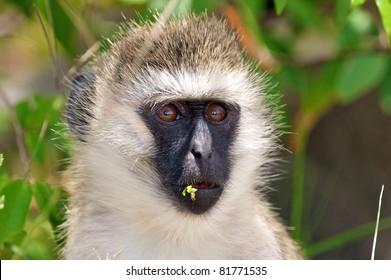Eating Vervet Monkey, Masai Mara, Kenya