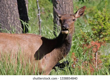 An eating Wapiti doe in Yellowstone National Park on a sunny day.