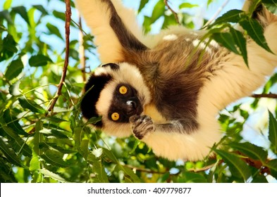 Eating in the wild, verreaux's sifaka or Propithecus verreauxi also known as the dancing lemur of Madagascar