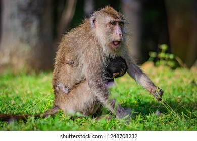 Eating-crab macaque (long-tailed macaque) mother is feeding young monkey attached to its breast in Koh Lanta island in the National Park, Thailand, the monkey begins to get angry