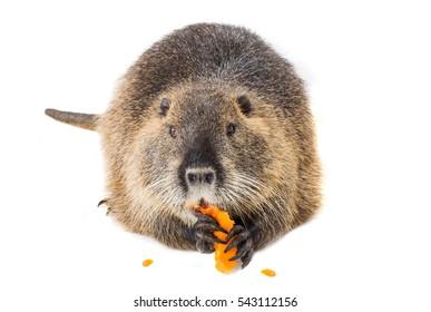 eats pumpkin coypu (Myocastor coypus) aka river rat or nutria mammal animal isolated on a white background