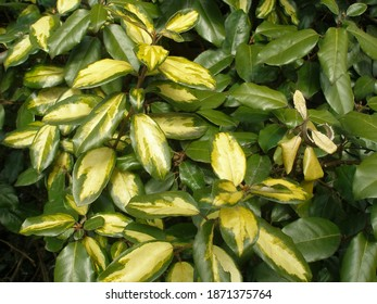 Ebbing's Silverberry' Limelight' (Elaeagnus x ebbingei)