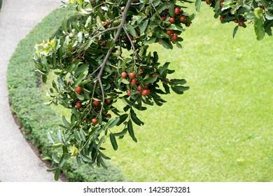 Ebony fruits on tree in the garden.