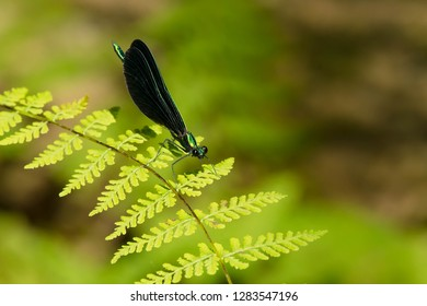 Ebony Jewelwing Damselfly perched on a green leaf. Scanlon Creek Conservation Area, Bradford, Ontario, Canada.