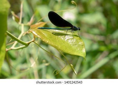 An ebony jewelwing, a species of broad-winged damsel flies, rests on a leaf of a thorny vine at Yates Mill County Park in Raleigh North Carolina.