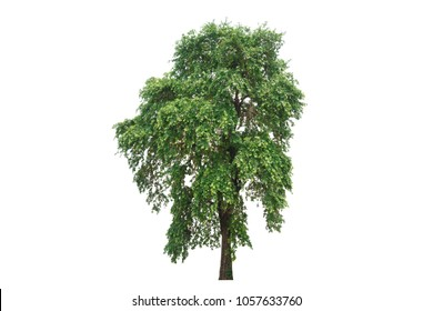Ebony tree isolated on white background.Image suitable for decor on website,artwork,wallpaper or print screen.