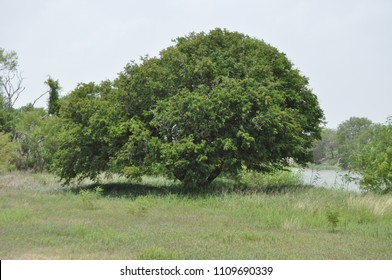 Ebony Tree on the Rio Grande River, Texas