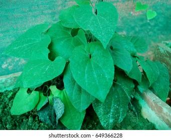 Ecbolium linneanum. Blue Fox Tail, Blue Justicia. The roots of this plant are used in jaundice and menorrhagia.