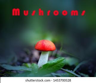 eccinum aurantiacum - edible mushroom. Fungus in the natural environment. English: red-capped scaber stalk