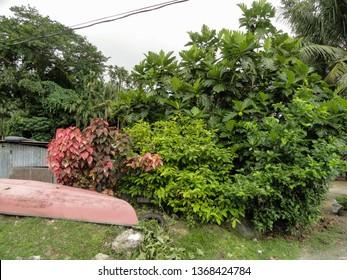 Echang, Palau - July 1, 2018. Breadfruit tree in Echang village.