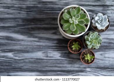 Echeveria for the background