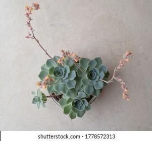 Echeveria elegans or alabaster rose. Top view