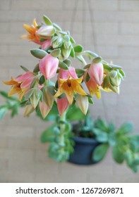Echeveria Flowering. Beautiful Blooming Succulent. The flowers of Echeveria are produced on a tall arching stalk, generally in a bell or urn shape.