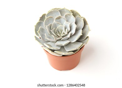 Echeveria isolated on white background. Houseplant succulent echeveria in pot.