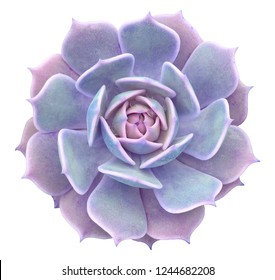 Echeveria Lola Succulent Isolated From Background
