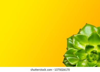Echeveria on a yellow background, cropped